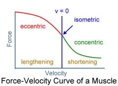 Force-Velocity_Curve_of_a_Muscle.jpg