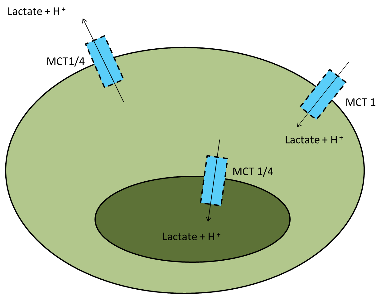 Lactate_Cell.png